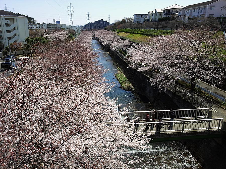 恩田川の桜並木