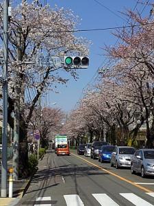 町田つくし野郵便局前の桜並木